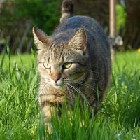 Découvrir l'herbe-au-chat Cataire