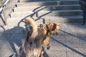 リカちゃん 預かり犬 散歩