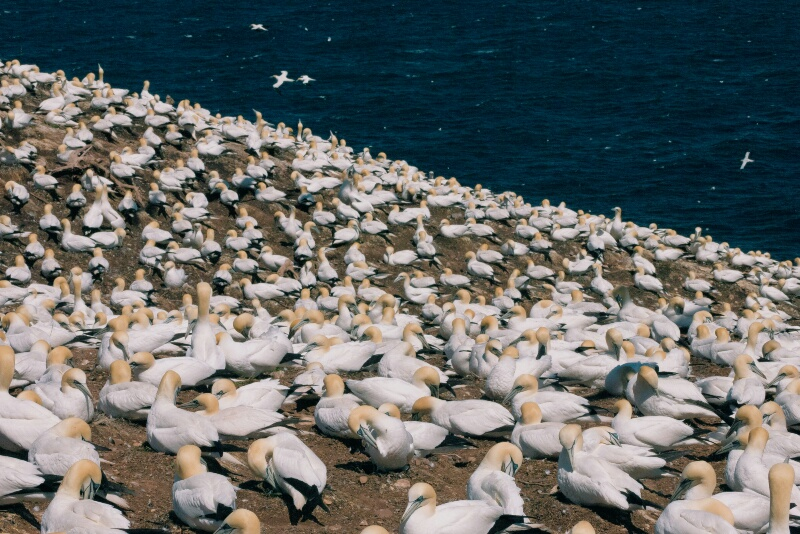 The colony of northern gannets.