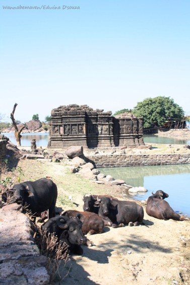 Cattle near lakulisa temple - champaner-pavagadh archaeological park