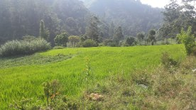 Ricefields in Koradekumbura - Nuwara Eliya road