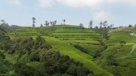 tea-estates-nuwara-eliya2