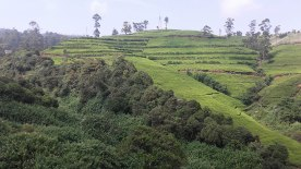 tea-estates-nuwara-eliya5