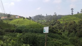 tea-estates-nuwara-eliya6