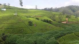 tea-estates-nuwara-eliya7