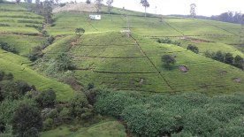 tea-estates-nuwara-eliya8