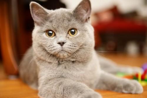BKH-kitten-blue