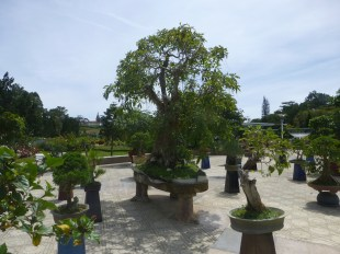A collection of Bonsai Trees