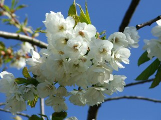 Prunus serrula in bloom