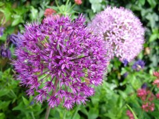 Bulbs - Allium