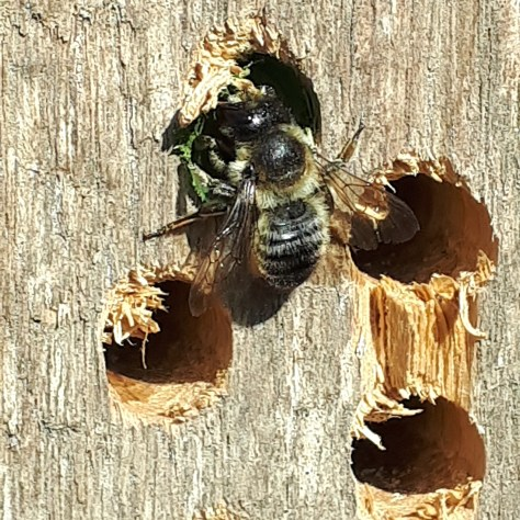 Leaf cutter bee inserting a leaf plug in a bug hotel in the Orchard for the Future at Wapley Common