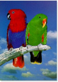 Eclectus Parrots Poster