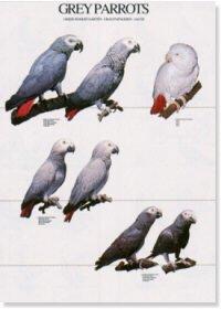 Grey Parrots Poster
