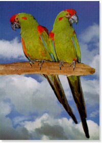 Red Fronted Macaw Pair Poster