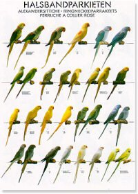 Ringnecked Parakeets Poster