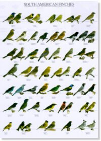 South American Finches Poster