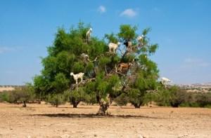 Arganboom met geiten