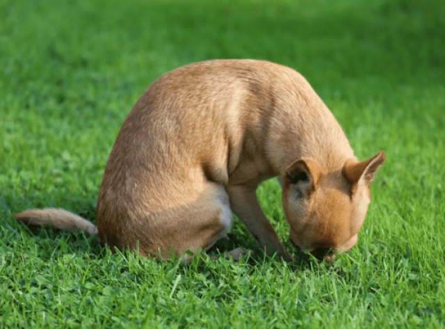 chihuahua-sobel-dog-smell-grass