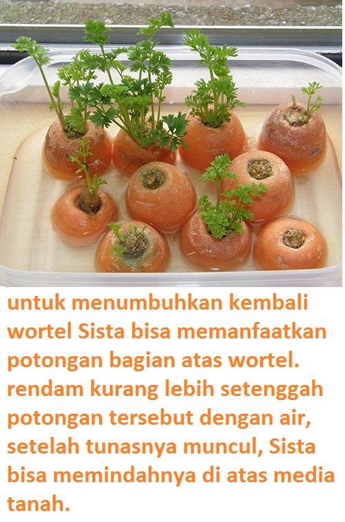 Cara Berkembang Biak Wortel : berkembang, wortel, Cantik, Tanaman, Wortel, Berkembang, Keterangannya, Bunga