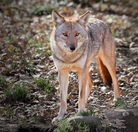 coyote burlington