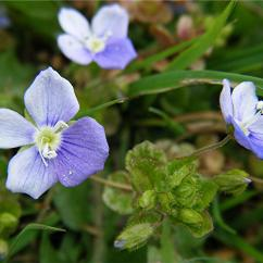 From To Seed Plant Diagram Chevy Hei Ignition Wiring Slender Speedwell | Naturespot