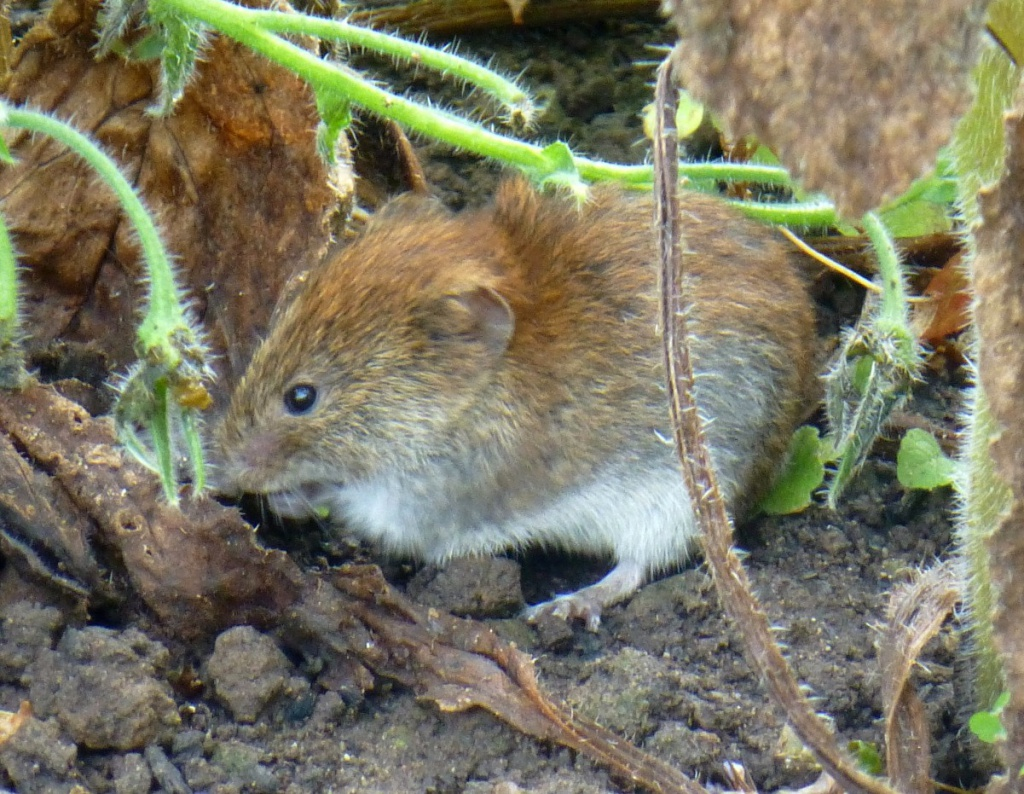 Bank Vole  NatureSpot
