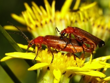 Image result for common red soldier beetle uk