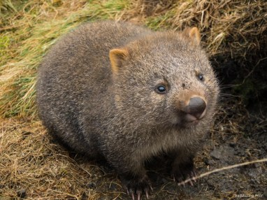cradle-mountain-land-of-the-wombats-4