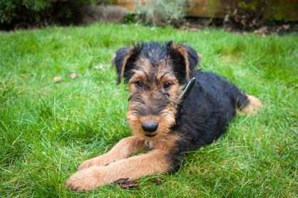 Airshire puppy in the garden. Photographed by Anna Hindocha/Warm Glow Photo.