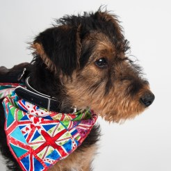Studio portrait of an Airedale puppy. Photographed by Anna Hindocha/Warm Glow Photo.