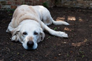 Golden Labrador lying down in her garden photographed by Anna Hindocha/Warm Glow Photo