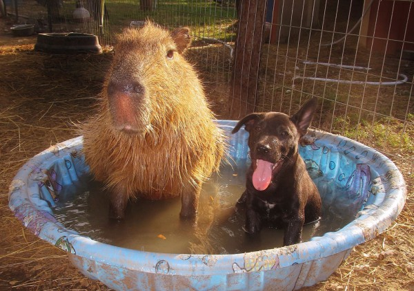 washing-capybara