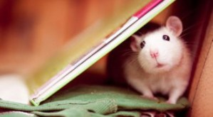 cuttie-rats18