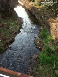 A large white bird stops to deep its feet in this stream that goes through Murasaki in Chikushino City (March 2012)