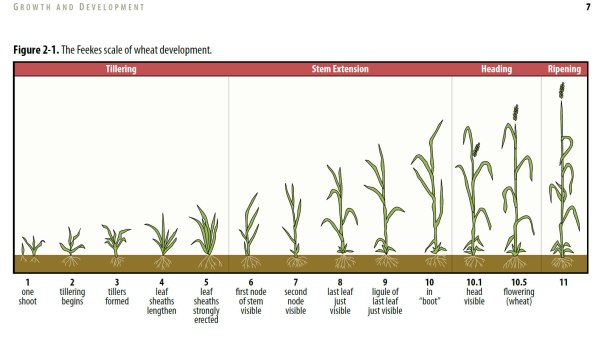 Wheat growth stages