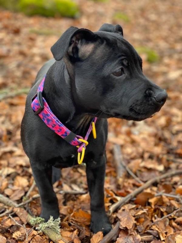 różowa-obroża półzaciskowa staffik warsaw dog