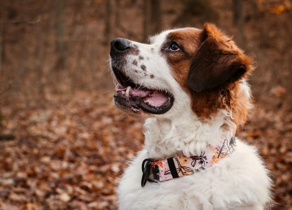 design dla psa obroże dla psów