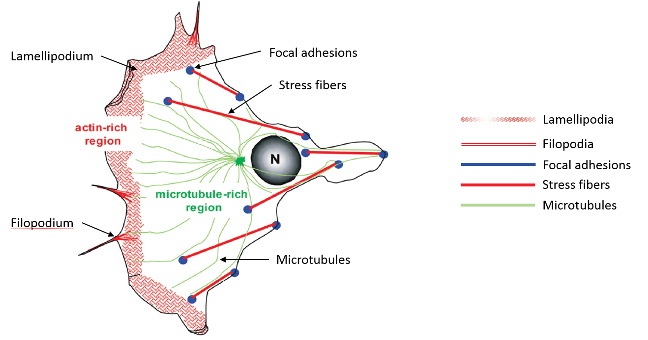 hight resolution of figure 1 a typical eukaryotic cell displaying actin rich regions and microtubule rich regions figure adapted from s manneville actin and microtubules