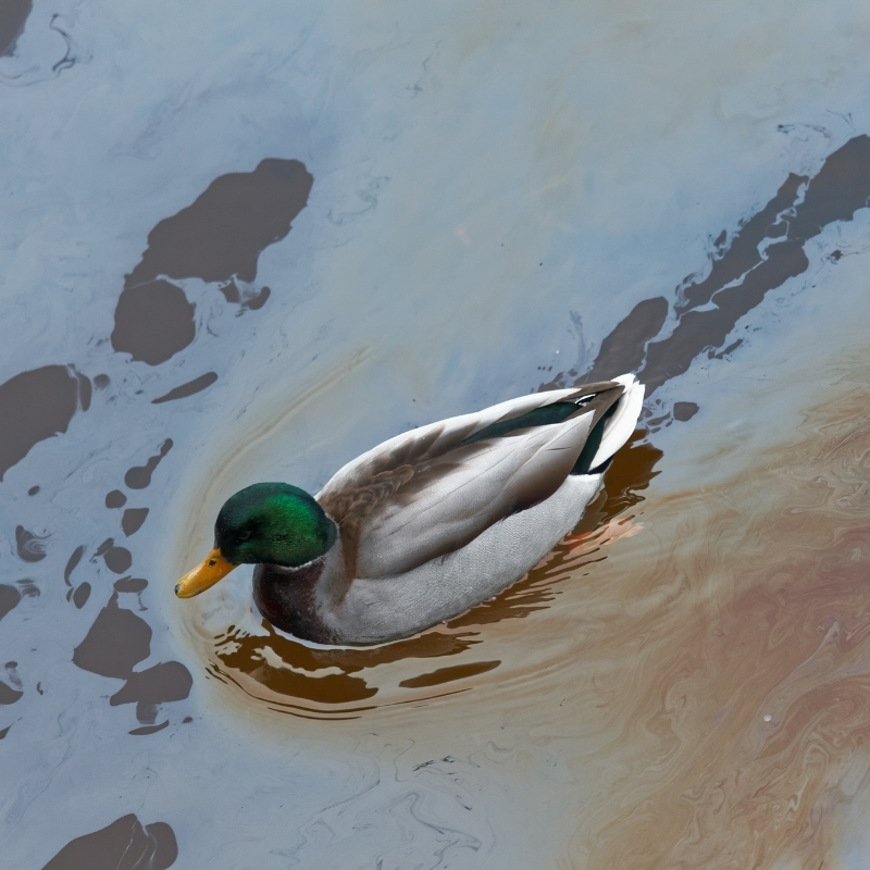 Duck swimming in oil polluted water