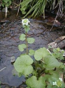 Wasabi plant growing in flowing water