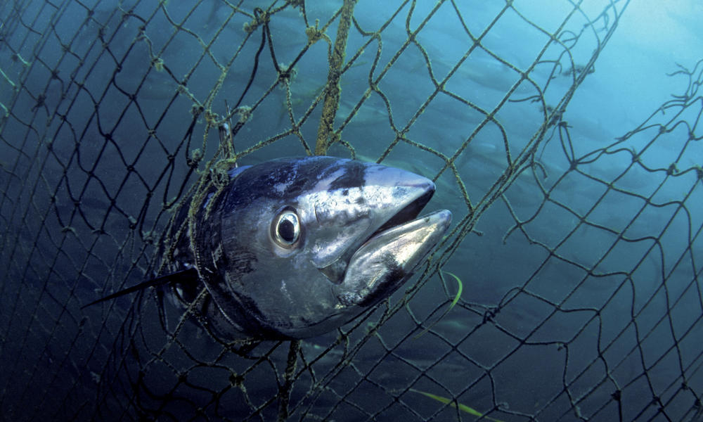 Dead Southern bluefin tuna (Thunnus maccoyii) caught in a tuna pen, Port Lincoln, South Australia.