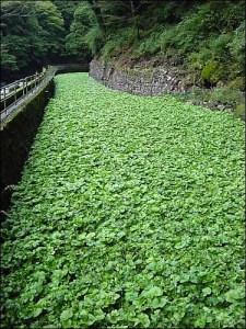 Beaverton Foods Stop growing wasabi after buying wasabi farm