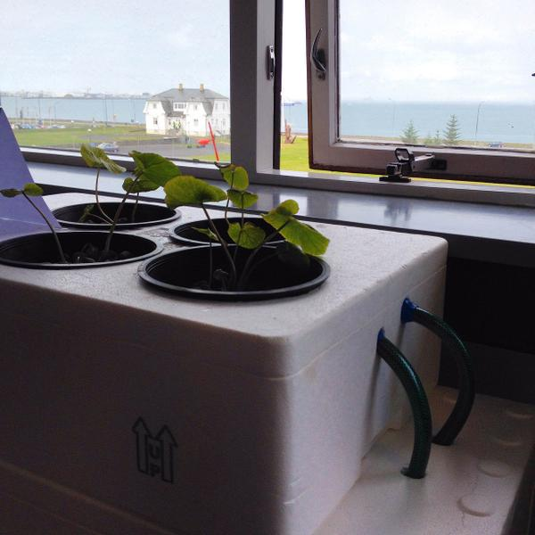 Wasabia japonica plants growing on windoe sill with special feeding system.