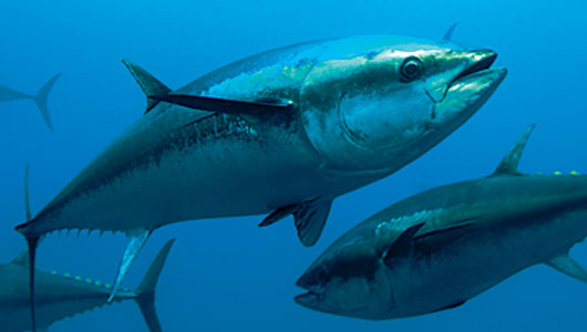 Tuna overfishing is caused by you demanding tuna with your sushi, sashimi or as a steak.