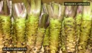 Unexpected Health Benefits of Wasabi