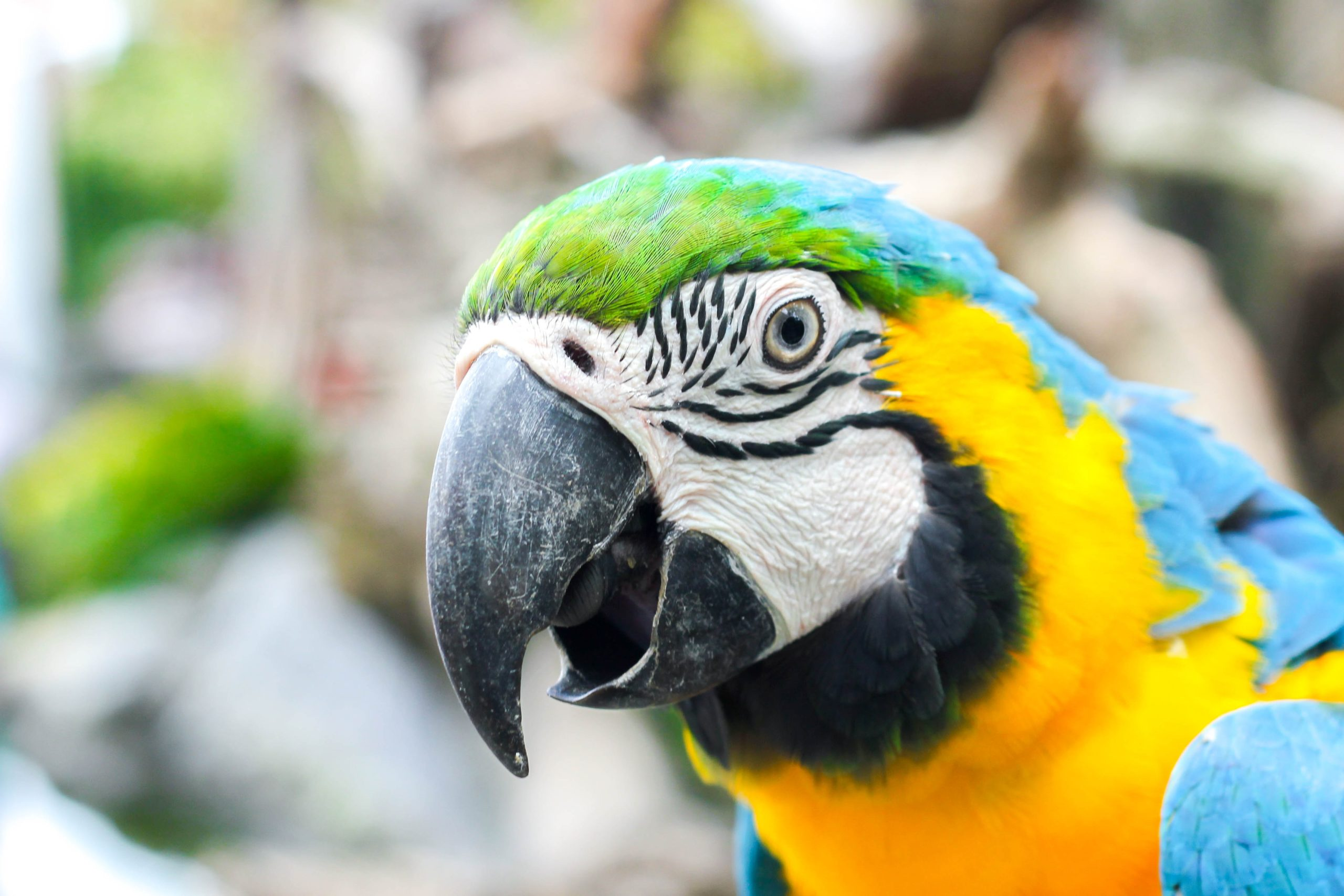 head of a blue and gold macaw with beak slightly open