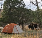 """Huff, huff"" - Bison Grazing in Campground"