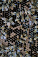 Closeup of bees.