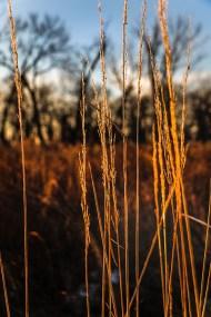 Prairie grasses along walking trail.