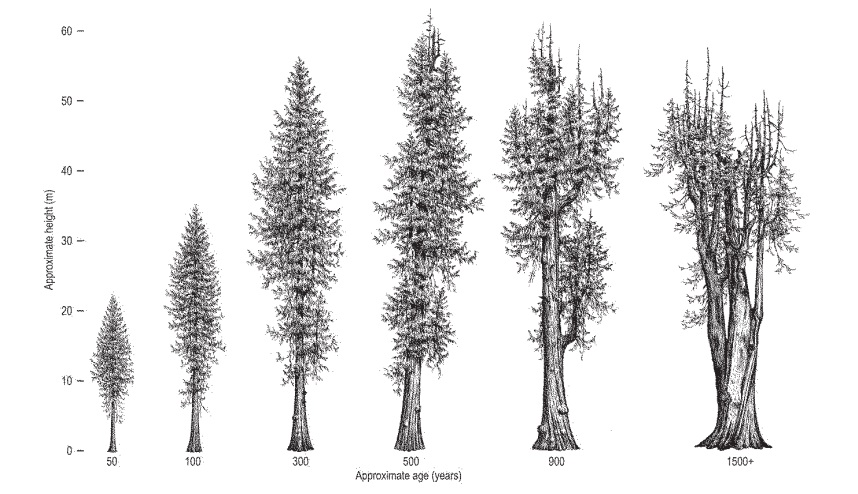 The western red-cedar: A 1500 year old giant